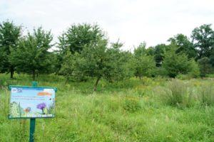 Heilpflanzen auf der Streuobstwiese @ pin  Treffpunkt: NABU-Streuobstwiese Knauthain